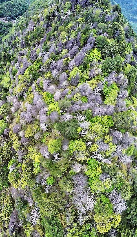 지난달 28일 지리산 천왕봉 동쪽 능선에서 칠선계곡으로 이어지는 지능선 일대를 항공촬영한 모습. 가문비나무와 구상나무 등 고산 침엽수가 집단 고사해 숲이 회색으로 얼룩져 있다. 서재철 제공