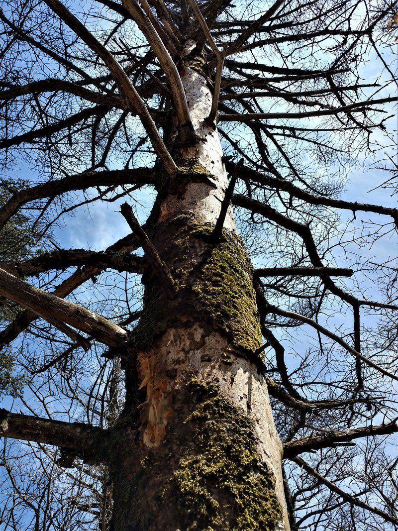 지리산 주 능선에서 한 구상나무가 고사하면서 이끼가 붙어 있는 껍질이 떨어져나가고 있다. 구상나무가 죽어가면 잎이 떨어지는 것과 함께 줄기의 껍질도 벗겨진다.(2017년 4월) 서재철 제공