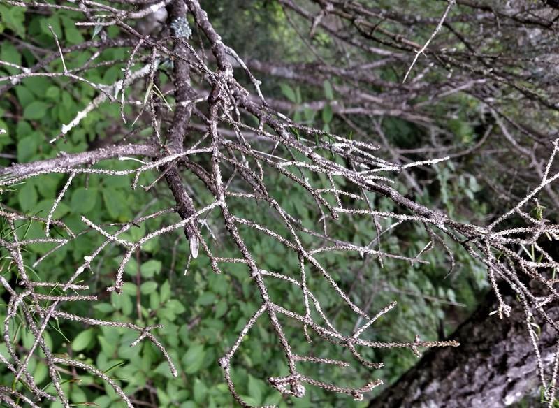 구상나무는 잎갈이를 하는 나무가 아닌데도 가지에 잎이 하나도 남아 있지 않다. 구상나무가 죽어갈 때 마지막엔 잎이 다 떨어진다.(2017년 8월)   서재철 제공