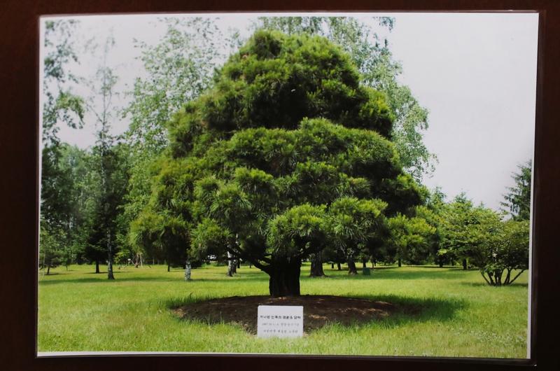 북쪽에서 준비한 노무현 대통령이 2007년 심은 소나무 사진 . 백소아 기자