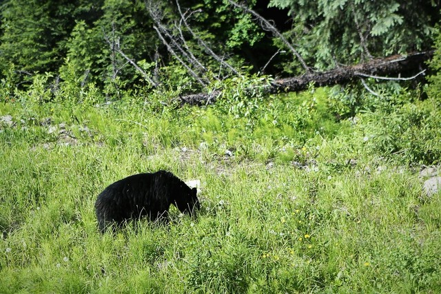 철로변에서 만난 야생 흑곰.  이병학 선임기자