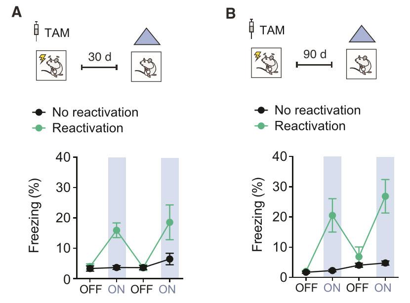 공포 기억을 잃어버린 유아 쥐의 뇌에서 공포 기억과 관련한 기억 세포들을 인위적으로 자극해 활성화하자(ON) 얼어붙는 공포 반응이 다시 나타났으며, 자극을 중단하자(OFF) 공포 반응도 사라졌다. 출처: 폴 프랭클랜드 연구진, 커런트 바이올로지