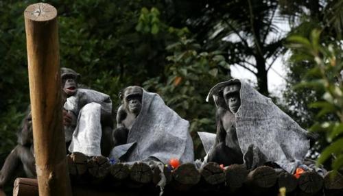 추위를 피해 담요를 뒤집어쓴 침팬지들 [브라질 일간지 에스타두 지 상파울루]