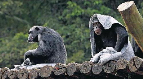 담요를 쓴 채 햇볕을 쬐는 침팬지들 [브라질 일간지 에스타두 지 상파울루]
