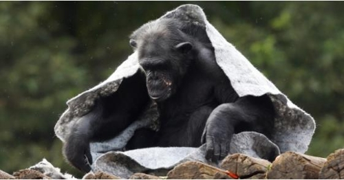 담요 속에서 몸을 녹이는 침팬지 [브라질 일간지 에스타두 지 상파울루]