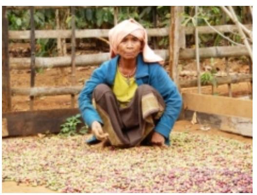 댐으로 인해 다른 마을로 이주한 후 커피를 수확하며 사는 마을 주민 모습. 인터네셔널리버스 타냐 리 프로그램 코디네이터 누리집 게시글 갈무리