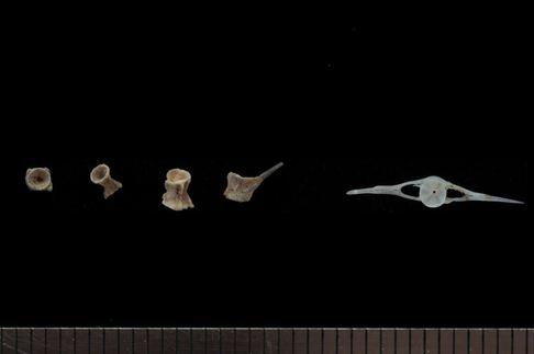 구석기 퇴적층 1층에서 나온 물고기 등뼈. 참마자, 피라미의 뼈로 확인된다.