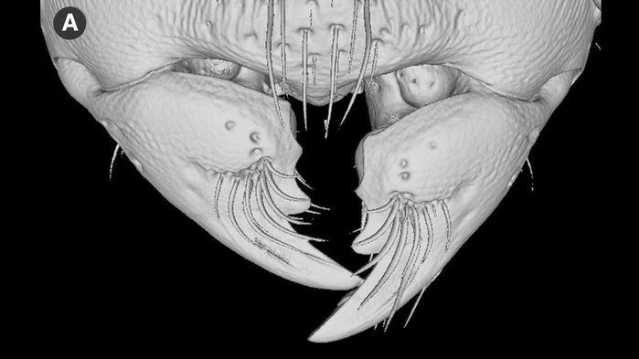 멜리소타르수스 개미의 턱 모습. 작고 원뿔형으로 뿌리 부근이 넓어 지렛대를 이용해 힘을 증폭하는 구조이다. 칼리페 외 (2018) '동물학 최전선' 제공.