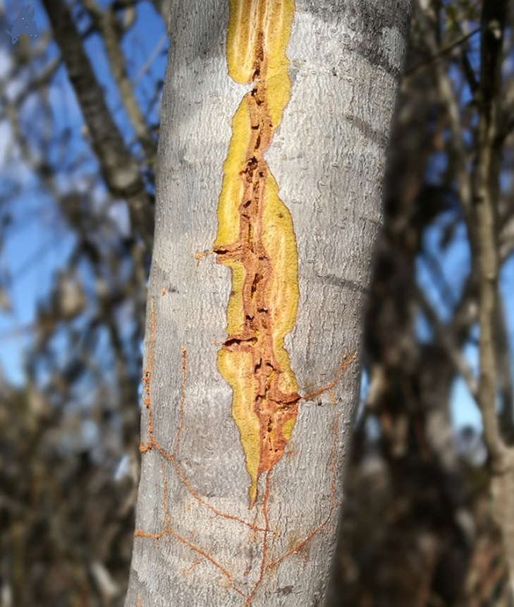 산 나무껍질 밑에 굴을 파 살아가는 멜리소타르수스 개미의 굴 모습. 나무껍질을 제거한 모습이다. 칼리페 외 (2018) '동물학 최전선' 제공.