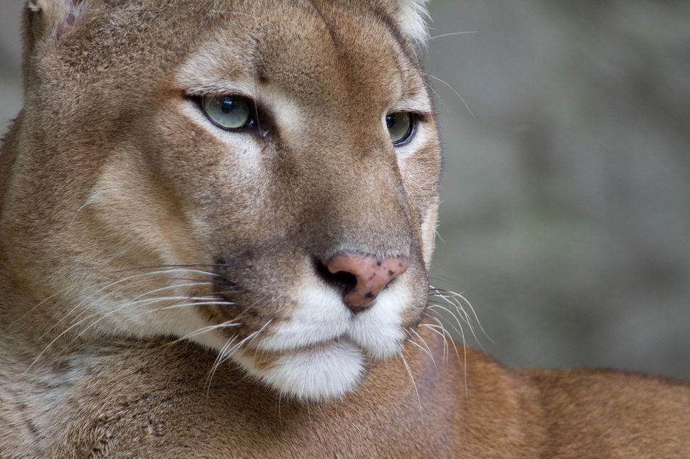 대전오월드를 탈출한 퓨마가 마취총을 맞고도 결국 사살됐다. 안전이 최우선이지만, 동물원 내부에서 발견됐고 마취가 가능했던 상황에서 사살까지 해야했냐는 지적이 나오고 있다. 위키미디어 코먼스