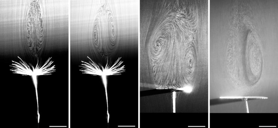 민들레 씨앗 위쪽에서 조금 떨어진 곳에 생성된 소용돌이들(왼쪽 사진 둘). 갓털들 사이의 빈 공간을 지나는 공기 흐름이 이런 소용돌이를 만들어내는데, 소용돌이들이 민들레가 하강 하는 것을 늦춰주는 항력을 증강시킨다. 오른쪽 사진 둘은 빈 공간을 갖춘 민들레 씨앗 갓털의 구조를 모방해 구멍들을 뚤은 원반을 이용해, 원반 위쪽에 비슷한 소용돌이가 생성됨을 보여주는 실험 장면. 출처: 네이처, 영국 에딘버러대학 연구진