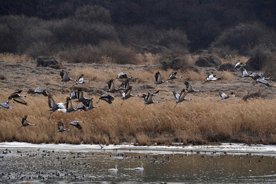 Photo] South Korea sees largest crane migration in 10 years