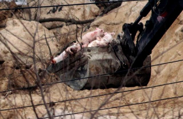 2011년 구제역이 발생한 경기도 동부의 한 축산농가에서 삽차를 동원해 살아 있는 돼지를 땅에 파묻고 있다. 김태형 기자 xogud555@hani.co.kr