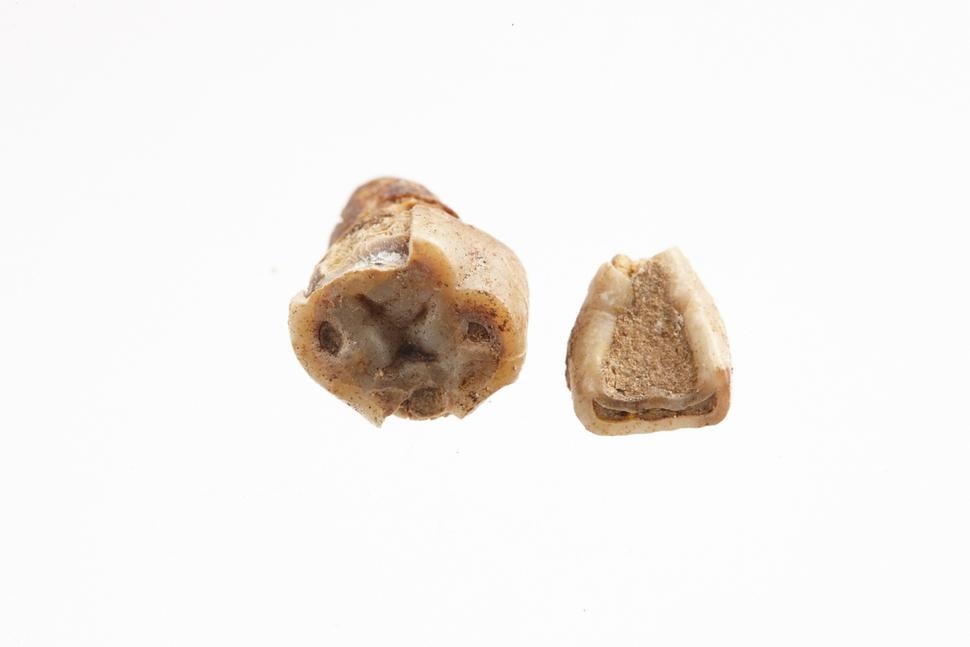 익산 대왕릉에서 나온 치아뼈. 여성의 것이라는 감정이 있었으나, 최근에는 단정할 수 없다는 반론도 나온다. 국립부여문화재연구소 제공