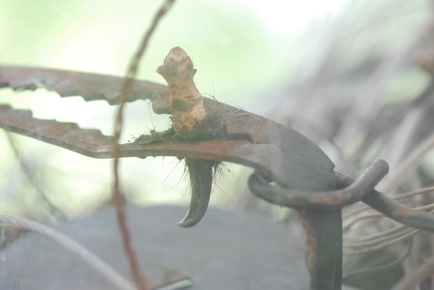 숲에 놓인 불법 사냥 도구에 반달가슴곰의 큰 발톱이 걸린 채 빠져 있다.