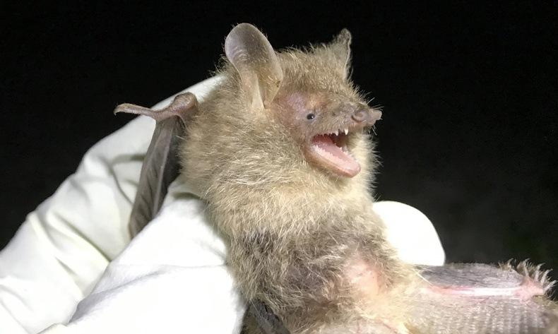 광릉숲에서 멸종위기1급 작은관코박쥐 발견