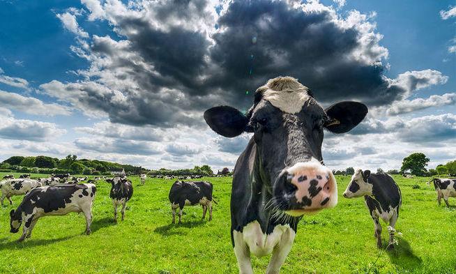 방귀 적게 뀌는 젖소, 장내미생물로 골라 메탄가스 줄인다