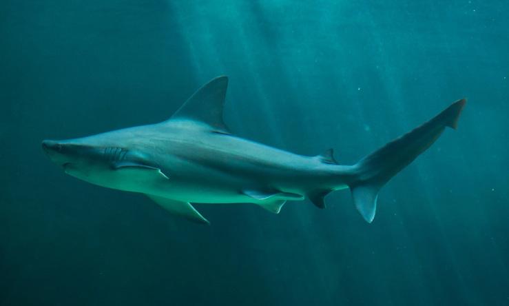 누가 상어를 제주 앞바다로 불렀나