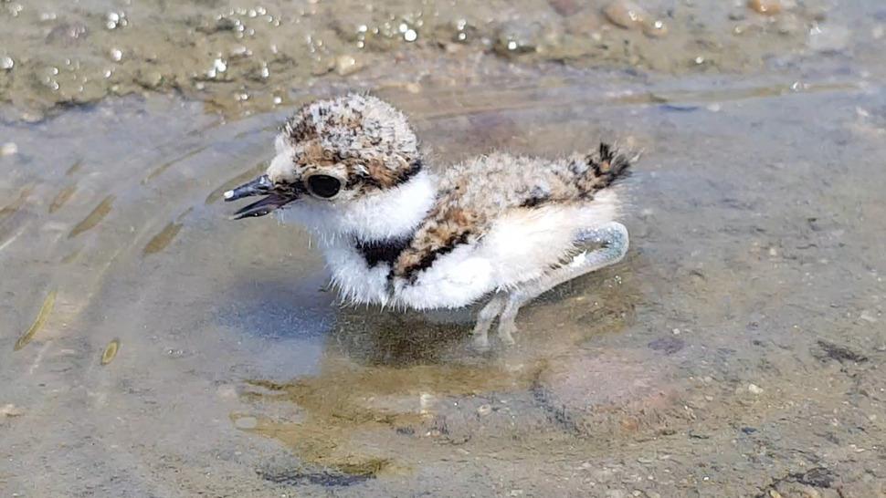 금강 가에서 알을 깨고 나온 어린 꼬마물떼새가 얕은 물에서 헤엄을 치고 있다. 김종술 <오마이뉴스> 시민 기자 제공