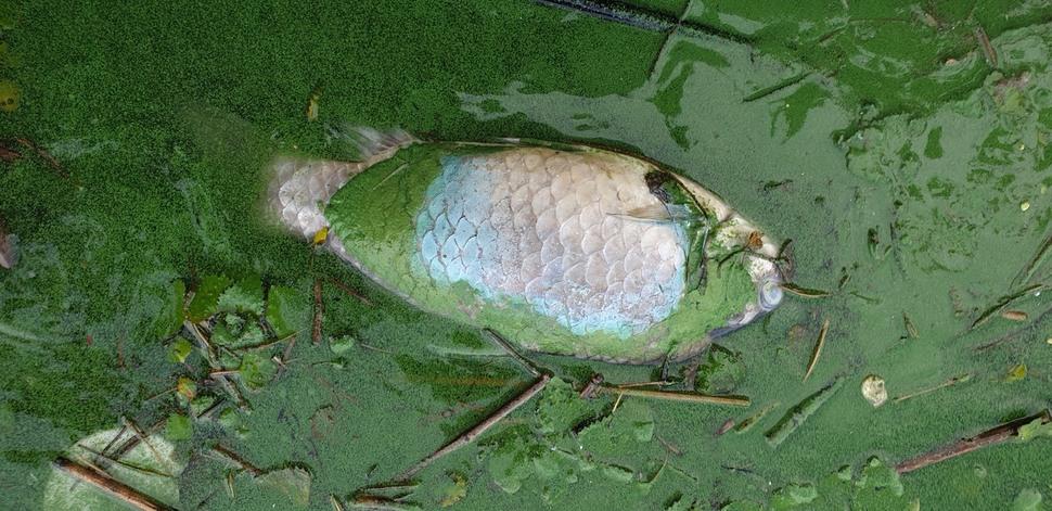 지난 9일 충남 논산과 전북 익산 경계 지점의 금강변에서 발견한 녹조와 죽은 물고기. 최예린 기자