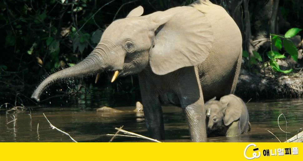 하루 450㎏ 먹는 코끼리, 기후변화 줄이는 '착한 식성'
