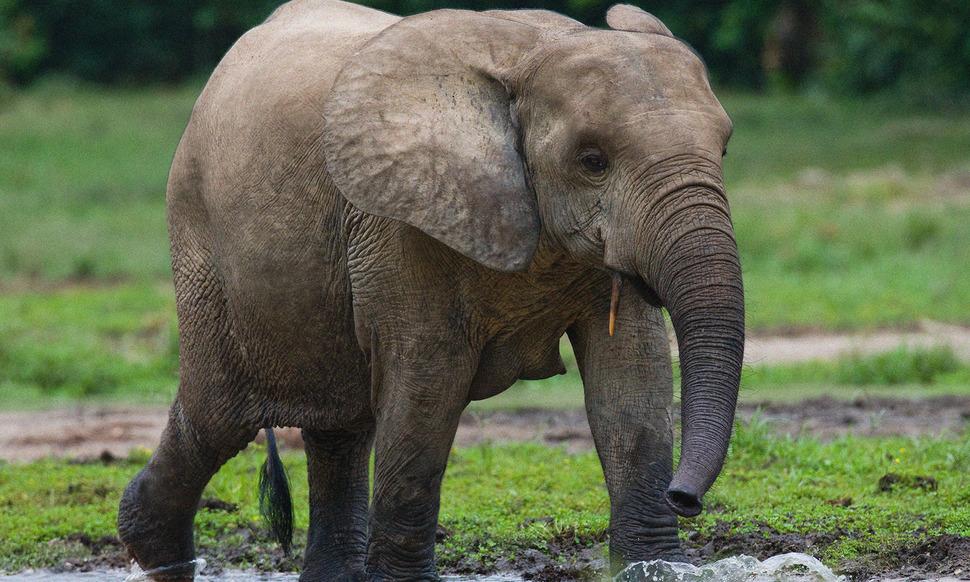 [카드뉴스] 대식가 코끼리가 기후변화를 줄인다?