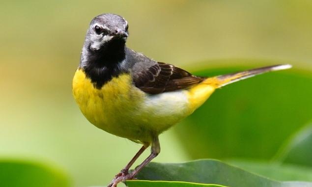 노랑할미새는 왜 쉬지 않고 꼬리를 깝죽거릴까