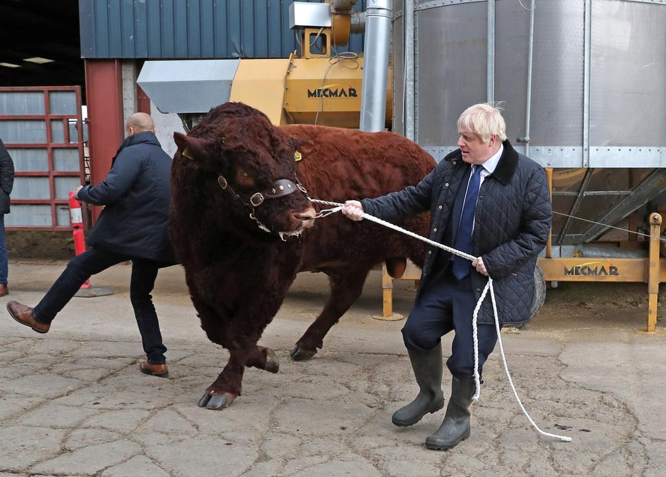 보리스 존슨 영국 총리가 지난 6일 스코틀랜드 댄퍼드의 한 농장을 방문해 커다란 소의 고삐를 당겨보고 있다.  댄퍼드/로이터 연합뉴스