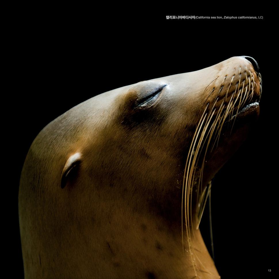 캘리포니아바다사자. 미국 휴스턴동물원. 국제자연보전연맹 범주 상 관심대상. 사이언스북스 제공
