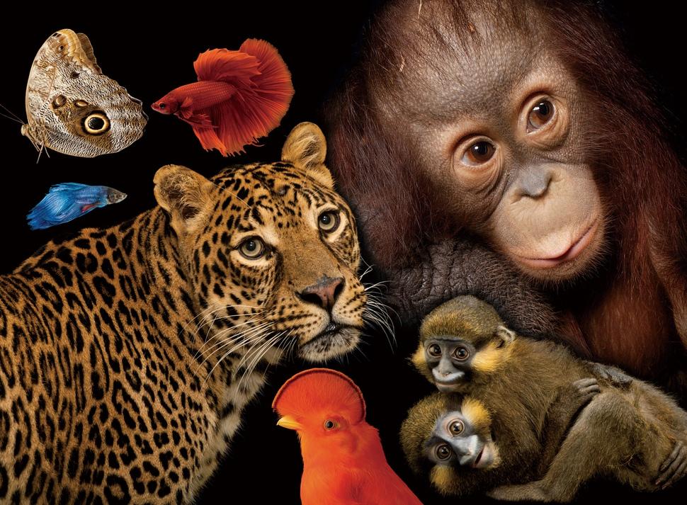 (왼쪽 위부터 시계방향으로) 부엉이나비, 태국버들붕어 암수, 오랑우탄잡종인 양모(養母)와 함께 있는 보르네오오랑우탄, 콧수염원숭이, 기아나루피콜새 수컷, 아프리카표범. 그래픽 동혜원, 사진 사이언스북스 제공