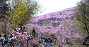 개나리·진달래·벚꽃…3월 고온에 동시개화