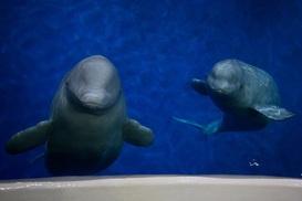 수족관 흰고래야 미안해 - 세계 최초 '돌고래 바다쉼터'